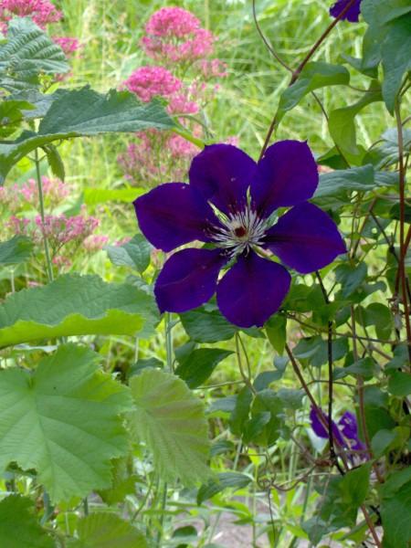 Clematis Etoille Violette